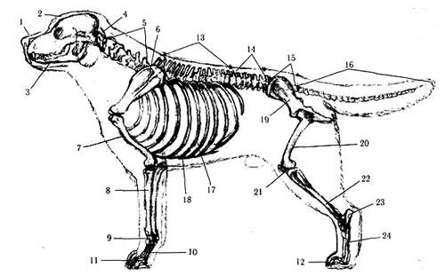 Рис.1 Скелет собаки 1.